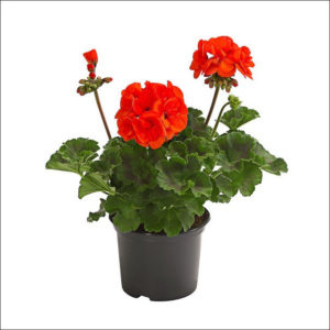 Yoidentity Geranium Plant (Orange)