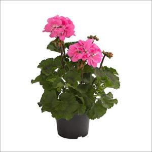 Yoidentity Geranium Plant (Pink)