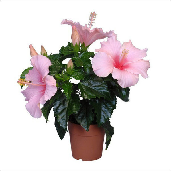Yoidentity Hibiscus (Light Pink)