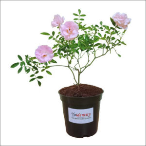 Yoidentity Button Rose (Light Pink)