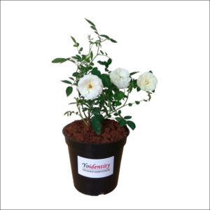 Yoidentity Button Rose (White)