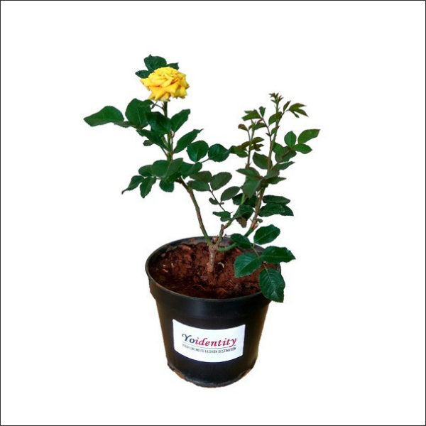 Yoidentity Button Rose (Yellow)