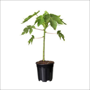 Yoidentity Papaya Plant