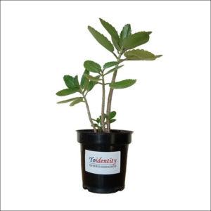 Yoidentity Patharchatta Plant