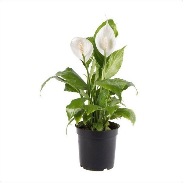 Yoidentity Peace Lily, Spathiphyllum Plant