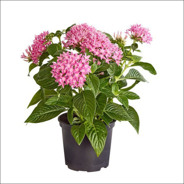 Yoidentity Pentas Plant (Purple)