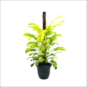 Yoidentity Philodendron Golden Plant Large