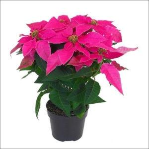 Yoidentity Poinsettia Plant (Pink)
