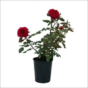 Yoidentity Rose Plant Red