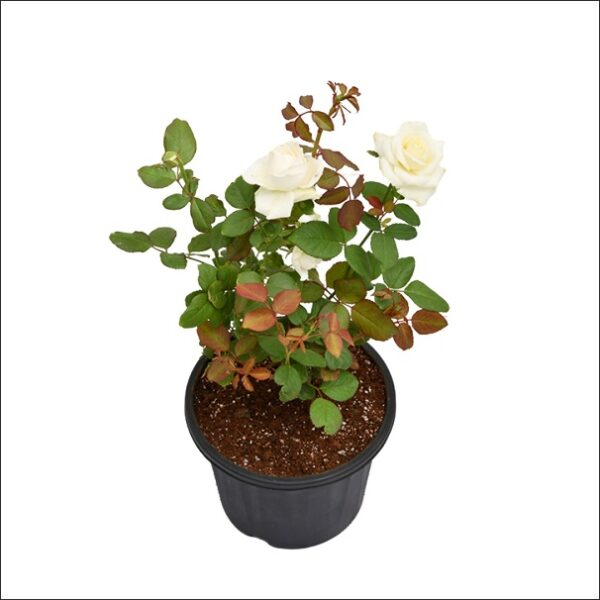 Yoidentity Rose Plant White