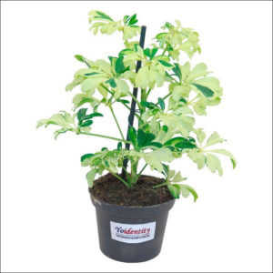 Yoidentity Schefflera Gerda Plant