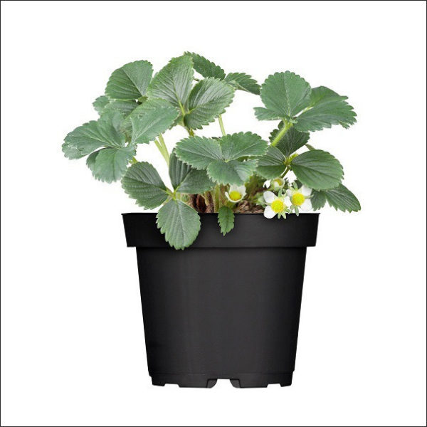 Yoidentity Strawberry Plant