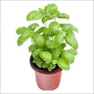 Yoidentity Sweet Basil, Italian Basil, Basil Plant (Green)