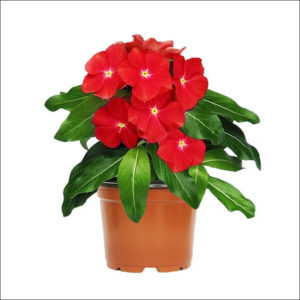 Yoidentity Vinca Plant (Real Red)