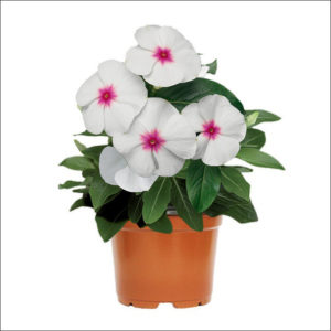 Yoidentity Vinca Plant (Red & White)