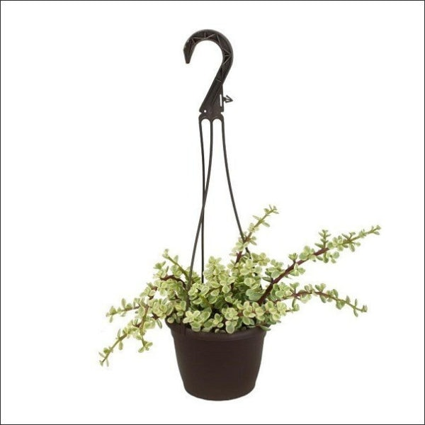 Yoidentity Variegated Jade Plant in Hanging Basket