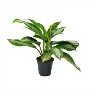 Yoidentity Aglaonema Diamond Bay Chinese Evergreen Plant