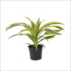 Yoidentity Dracaena Lemon lime, Dracaena fragrans Plant