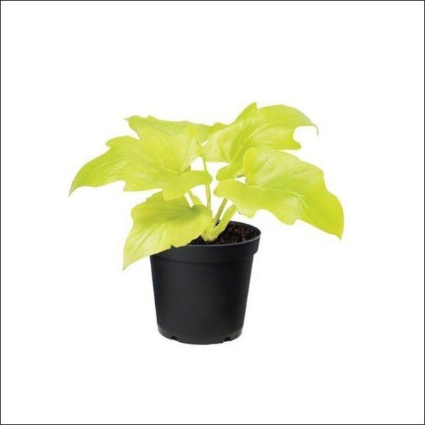 Yoidentity Philodendron Selloum Golden Plant