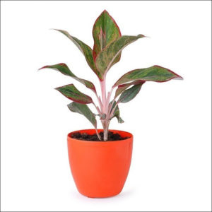 Yoidentity Red Aglaonema Plant
