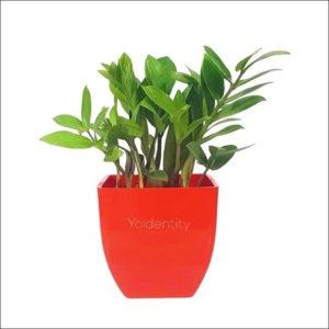 Yoidentity ZZ Plant