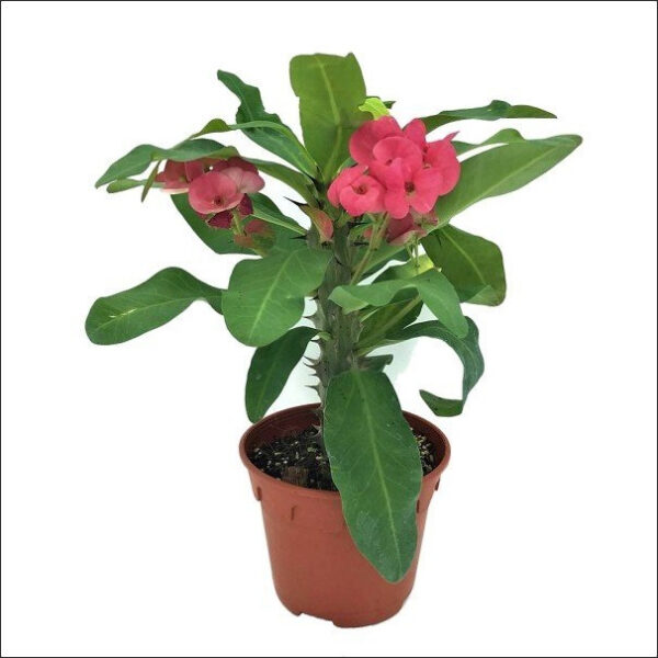 Yoidentity Euphorbia, Crown of Thorns Plant Pink