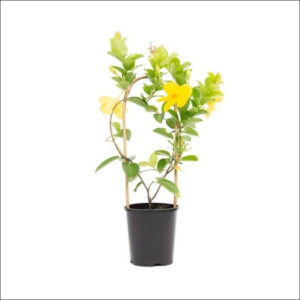 Yoidentity Allamanda Yellow