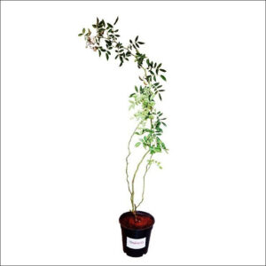 Yoidentity White Creeper Rose Plant