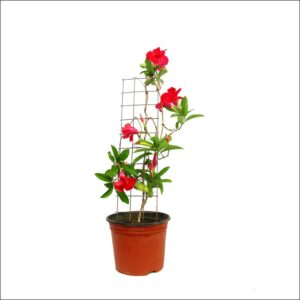 Yoidentity Mandevilla Red (Large)