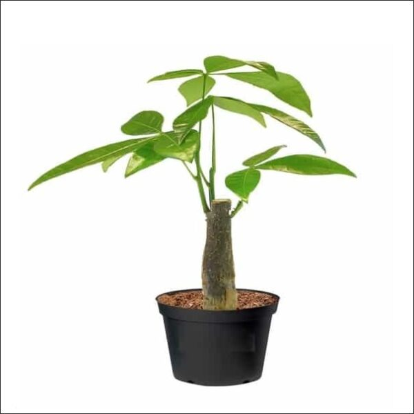 Yoidentity Pachira Money Tree