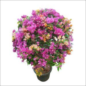 Yoidentity Bougainvillea Multicolor Plant