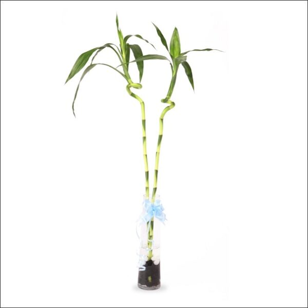 Yoidentity Lucky Bamboo Spiral Sticks 2, Dancing Bamboo