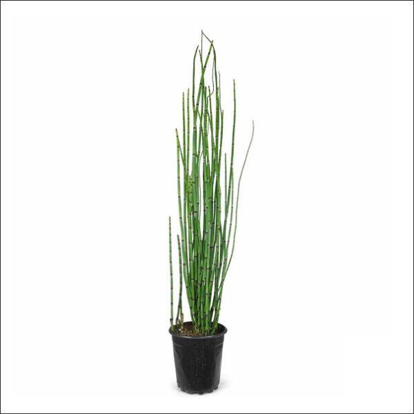 Yoidentity Water Bamboo Plant, Equisetum Hyemale, Rough Horsetail