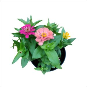 Yoidentity Zinnia Plant Big Flower
