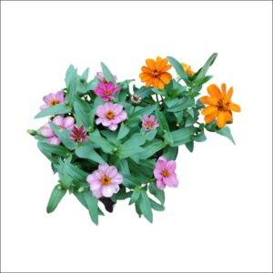 Yoidentity Zinnia Plant Small Flower