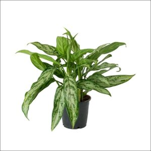Yoidentity Aglaonema Silver Queen