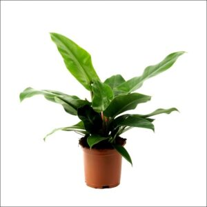 Yoidentity Philodendron Congo, Philodendron Tatei Plant