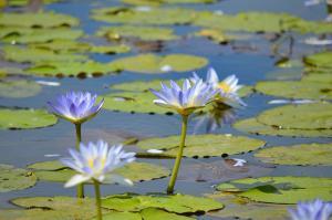 lillies copy