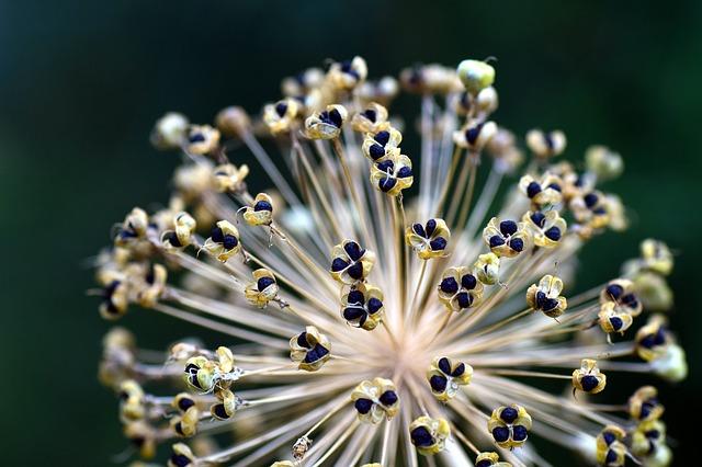 Onion Black seeds