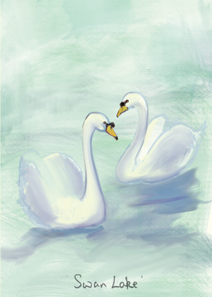 The Mute Swan  Cynus olor