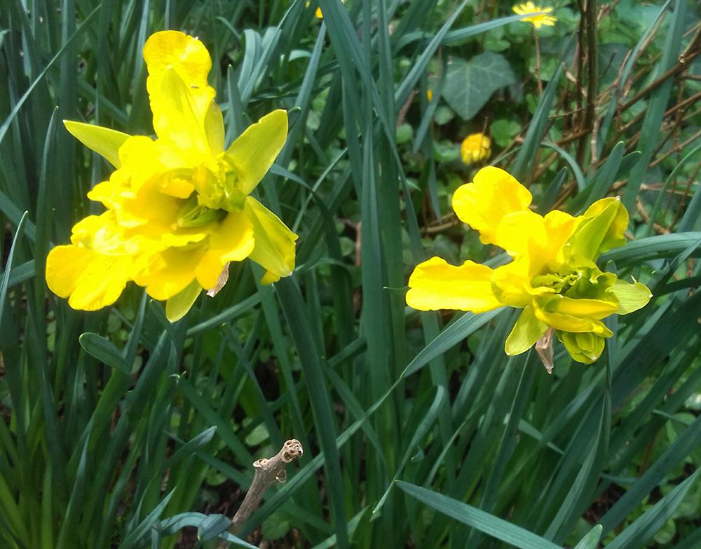 derwydd daffodil