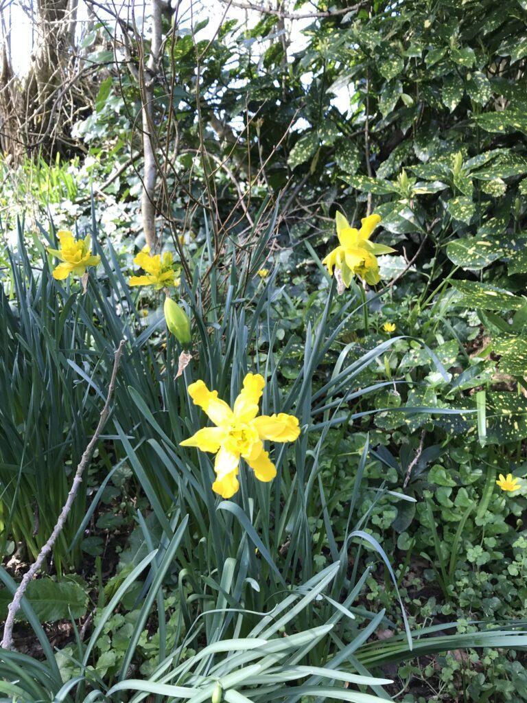 derwydd daffodils