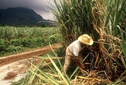 Sugar cane cropper