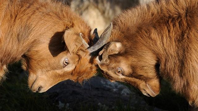 goats butting heads
