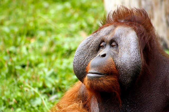 seeing orangutan travel retirement