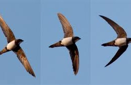 Swifts are back – cue the music!