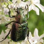 Noble Chafer beetle. Photo by Russel Miller