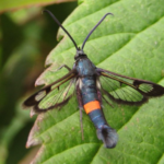 Red Belted Clearwing. Photo by Russell Miller