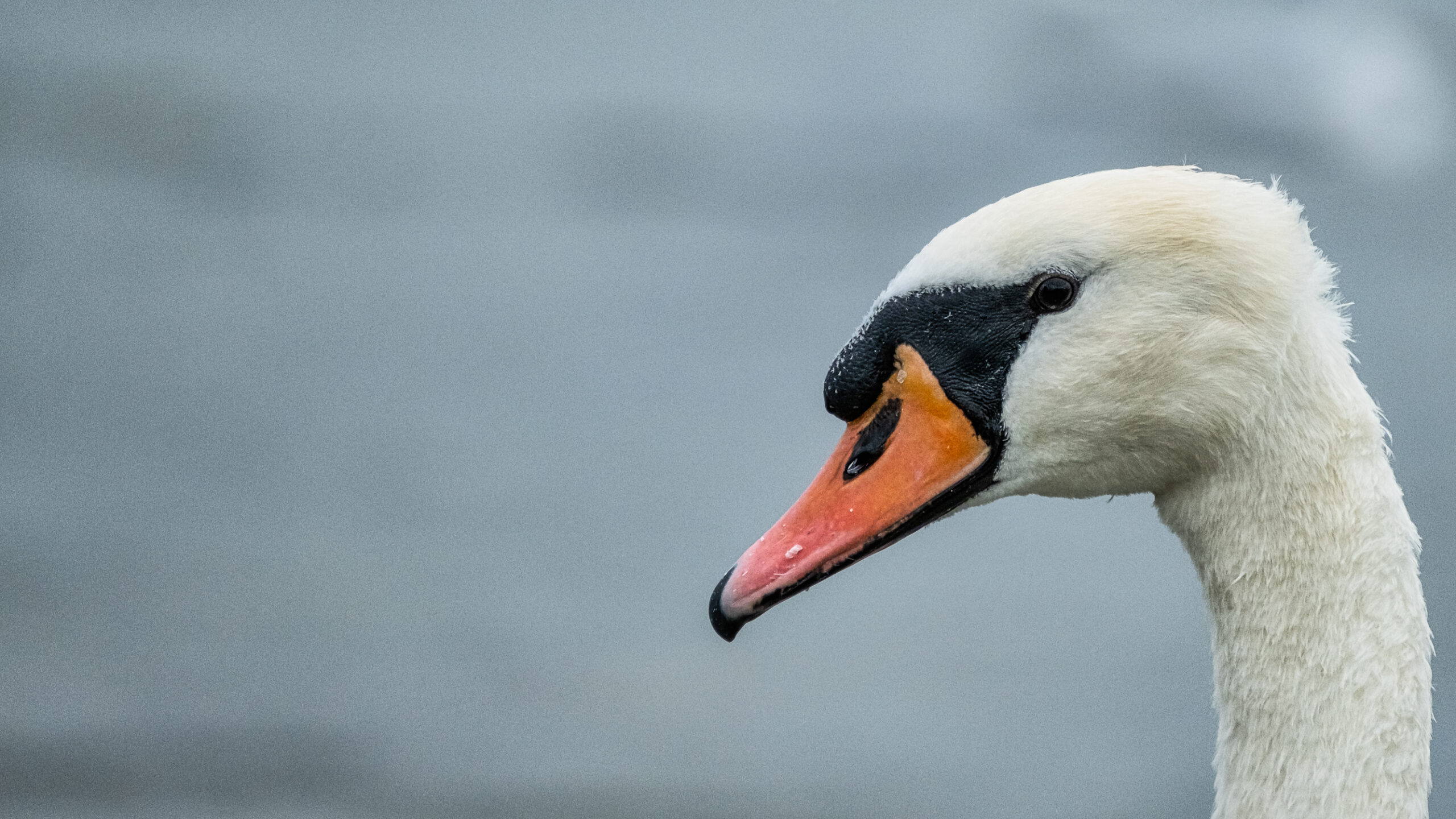 Up close of a Swan in Galway