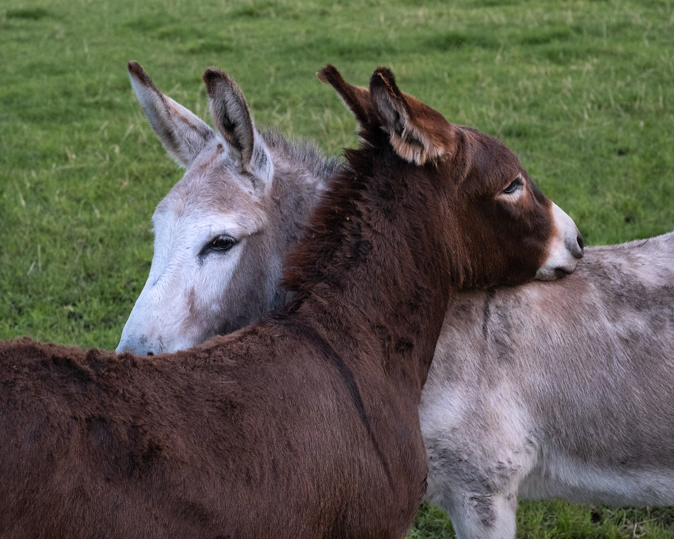 Donkeys Hugging